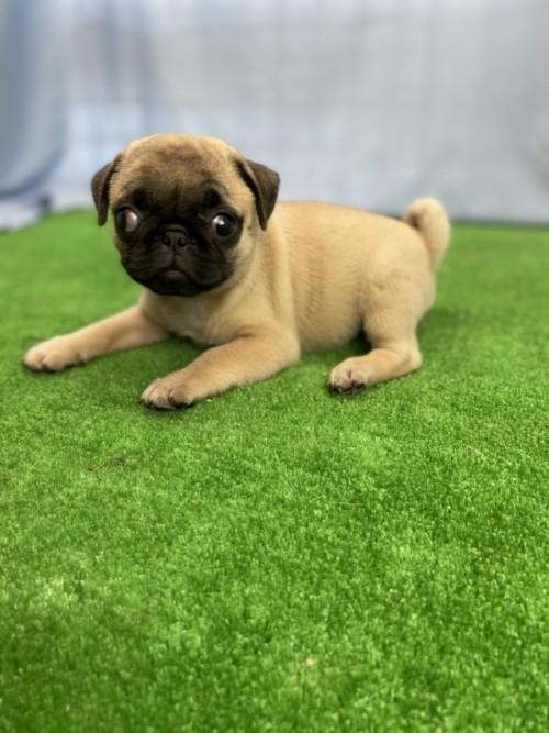 パグの子犬(ID:1254911101)の2枚目の写真/更新日:2017-07-22