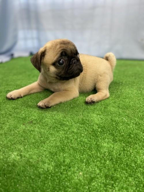 パグの子犬(ID:1254911101)の3枚目の写真/更新日:2017-07-22