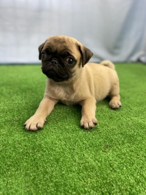 パグの子犬(ID:1254911101)の4枚目の写真/更新日:2017-08-14