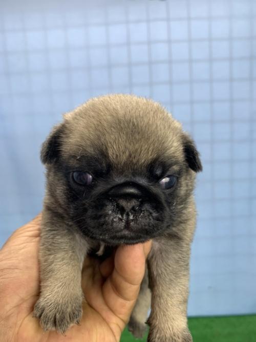 パグの子犬(ID:1254911102)の1枚目の写真/更新日:2017-08-14