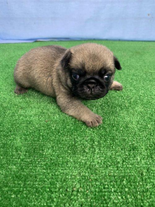 パグの子犬(ID:1254911102)の2枚目の写真/更新日:2017-07-22