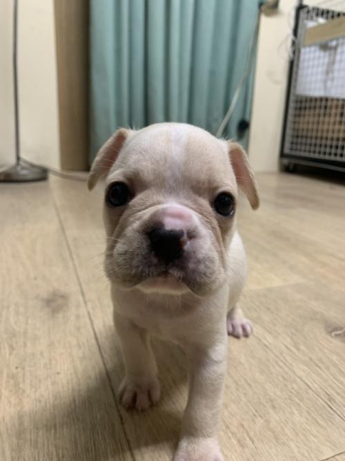 フレンチブルドッグの子犬(ID:1254911105)の1枚目の写真/更新日:2017-07-22