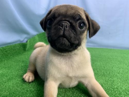 パグの子犬(ID:1254911106)の1枚目の写真/更新日:2018-12-09