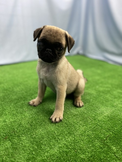 パグの子犬(ID:1254911107)の1枚目の写真/更新日:2018-11-09