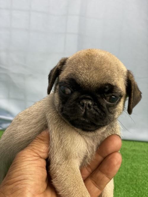 パグの子犬(ID:1254911107)の4枚目の写真/更新日:2018-11-09