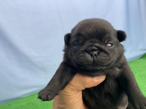 パグの子犬(ID:1254911108)の1枚目の写真/更新日:2020-03-01