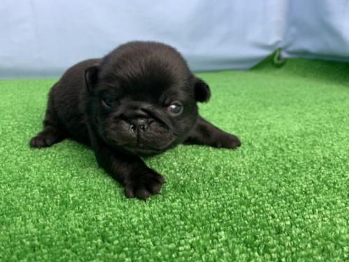 パグの子犬(ID:1254911108)の2枚目の写真/更新日:2020-03-01