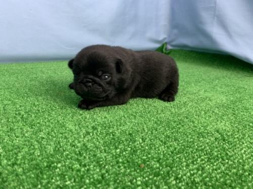 パグの子犬(ID:1254911108)の3枚目の写真/更新日:2020-03-01