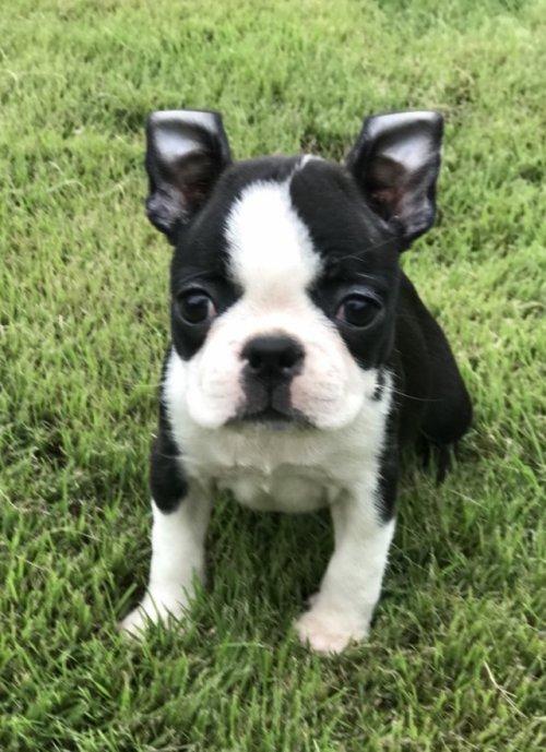 ボストンテリアの子犬(ID:1254911109)の1枚目の写真/更新日:2018-08-10