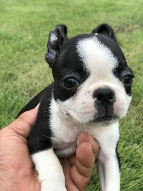 ボストンテリアの子犬(ID:1254911109)の2枚目の写真/更新日:2018-08-10