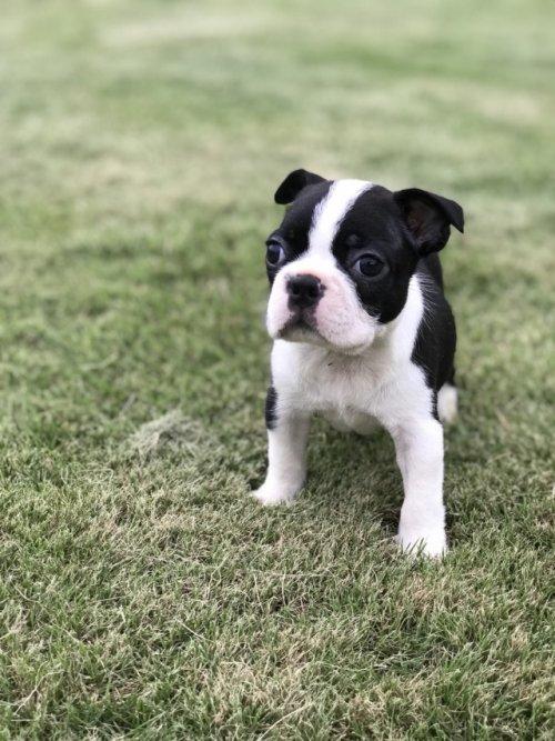 ボストンテリアの子犬(ID:1254911110)の1枚目の写真/更新日:2018-09-12