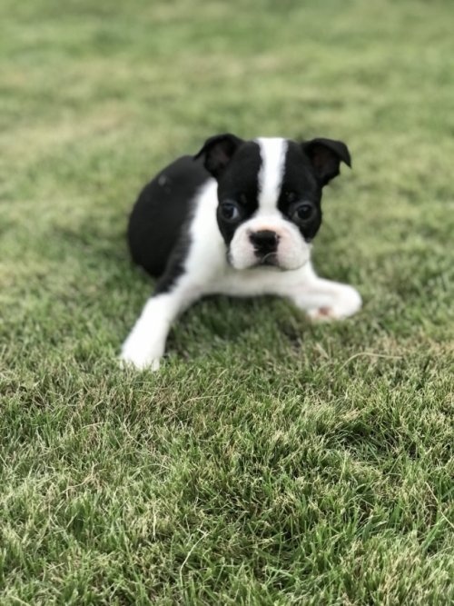 ボストンテリアの子犬(ID:1254911110)の2枚目の写真/更新日:2017-10-27