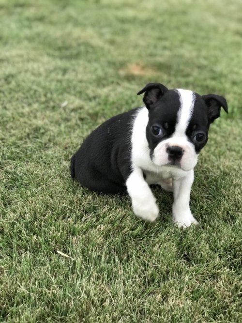 ボストンテリアの子犬(ID:1254911110)の3枚目の写真/更新日:2018-09-12