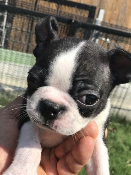 ボストンテリアの子犬(ID:1254911111)の1枚目の写真/更新日:2017-10-27