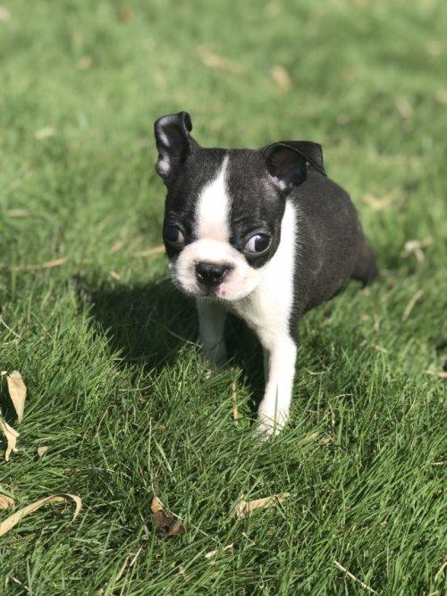 ボストンテリアの子犬(ID:1254911111)の2枚目の写真/更新日:2018-10-12