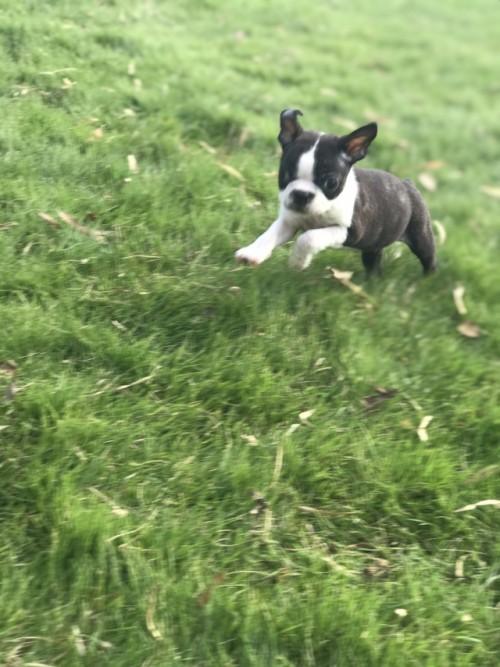 ボストンテリアの子犬(ID:1254911111)の3枚目の写真/更新日:2017-10-27