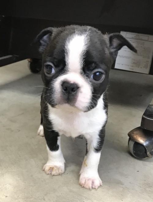 ボストンテリアの子犬(ID:1254911113)の1枚目の写真/更新日:2018-06-21