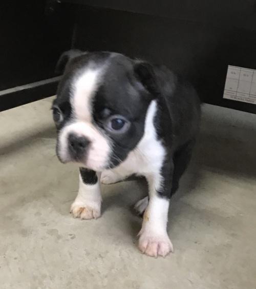 ボストンテリアの子犬(ID:1254911113)の2枚目の写真/更新日:2018-06-21