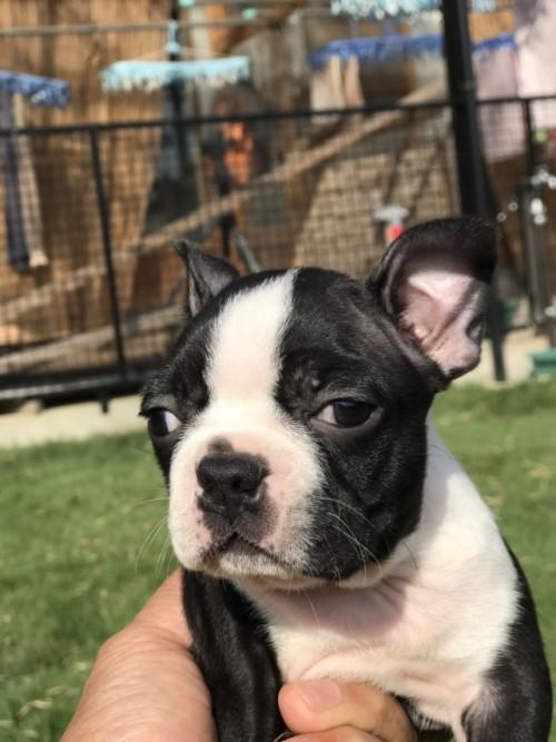 ボストンテリアの子犬(ID:1254911114)の1枚目の写真/更新日:2018-10-23