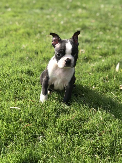 ボストンテリアの子犬(ID:1254911114)の2枚目の写真/更新日:2017-11-27