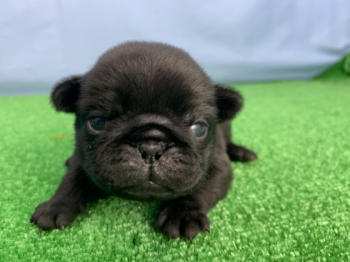 パグの子犬(ID:1254911115)の1枚目の写真/更新日:2020-03-01