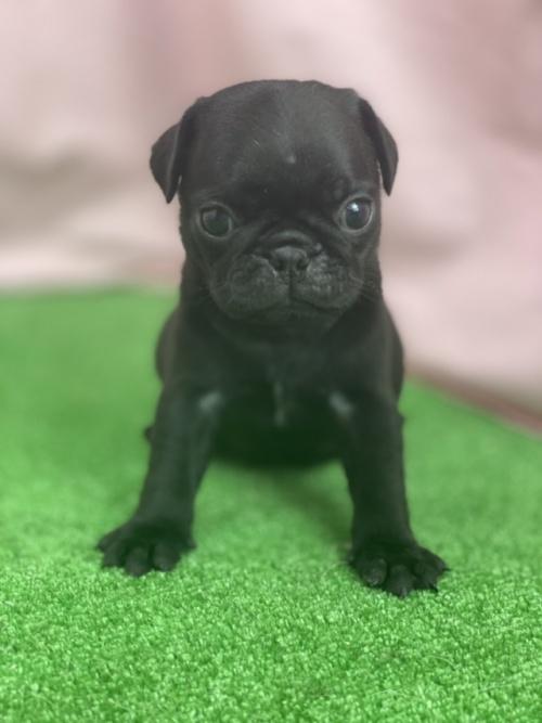 パグの子犬(ID:1254911116)の1枚目の写真/更新日:2017-12-14