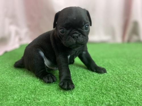 パグの子犬(ID:1254911116)の2枚目の写真/更新日:2017-12-14
