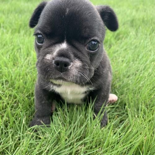 フレンチブルドッグの子犬(ID:1254911117)の1枚目の写真/更新日:2017-12-14