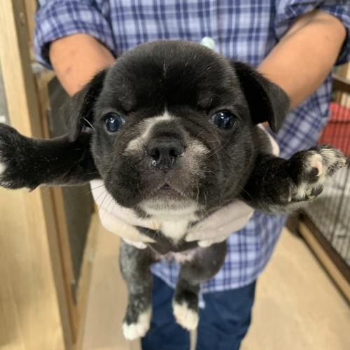 フレンチブルドッグの子犬(ID:1254911117)の2枚目の写真/更新日:2017-12-14