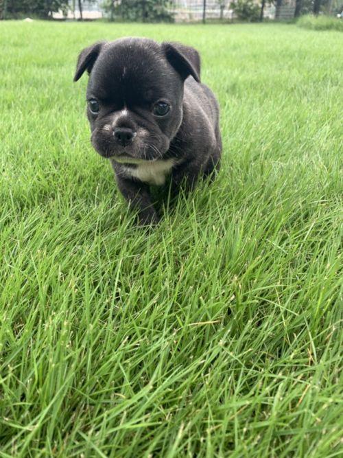 フレンチブルドッグの子犬(ID:1254911117)の3枚目の写真/更新日:2017-12-14