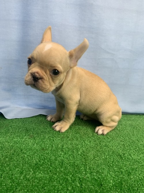 フレンチブルドッグの子犬(ID:1254911118)の1枚目の写真/更新日:2017-12-20