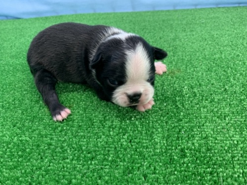 ボストンテリアの子犬(ID:1254911119)の1枚目の写真/更新日:2017-12-20