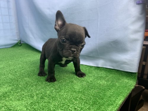 フレンチブルドッグの子犬(ID:1254911120)の1枚目の写真/更新日:2017-12-29