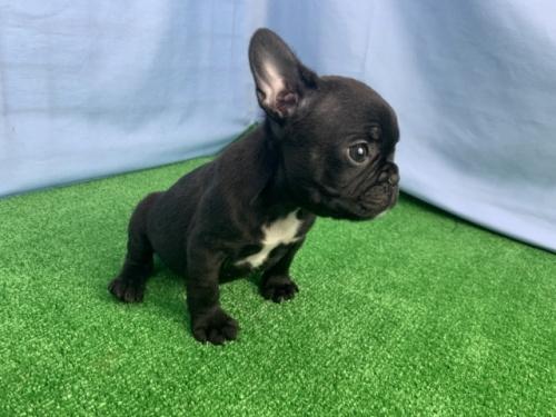 フレンチブルドッグの子犬(ID:1254911120)の2枚目の写真/更新日:2017-12-29