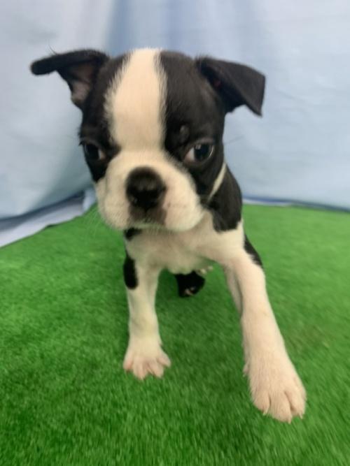 ボストンテリアの子犬(ID:1254911121)の1枚目の写真/更新日:2017-12-29