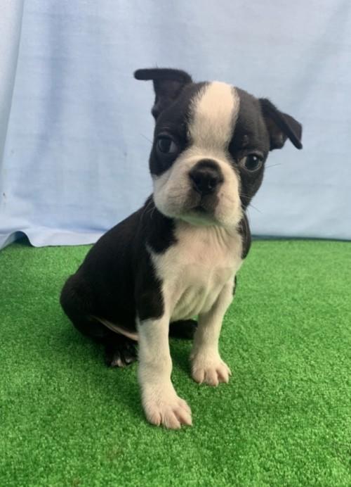 ボストンテリアの子犬(ID:1254911121)の2枚目の写真/更新日:2017-12-29