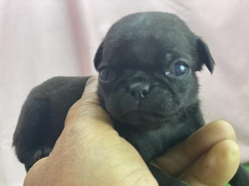 パグの子犬(ID:1254911123)の1枚目の写真/更新日:2021-07-22