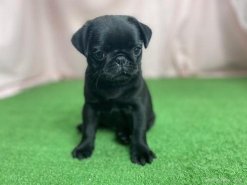 パグの子犬(ID:1254911126)の2枚目の写真/更新日:2018-01-08