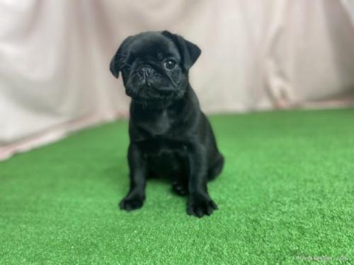 パグの子犬(ID:1254911126)の3枚目の写真/更新日:2020-01-04