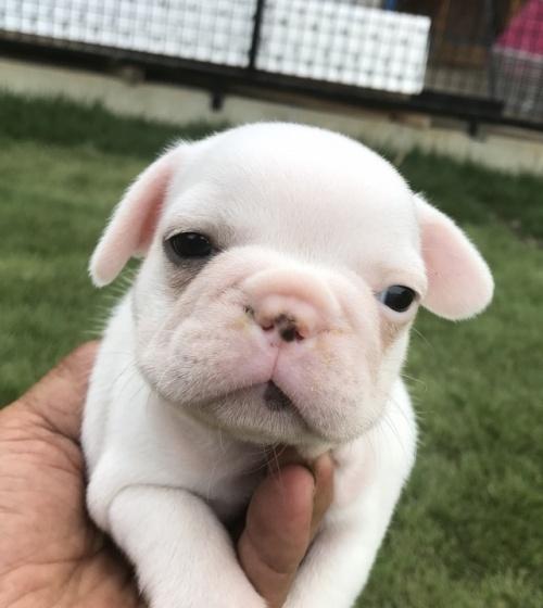 フレンチブルドッグの子犬(ID:1254911128)の1枚目の写真/更新日:2018-01-08
