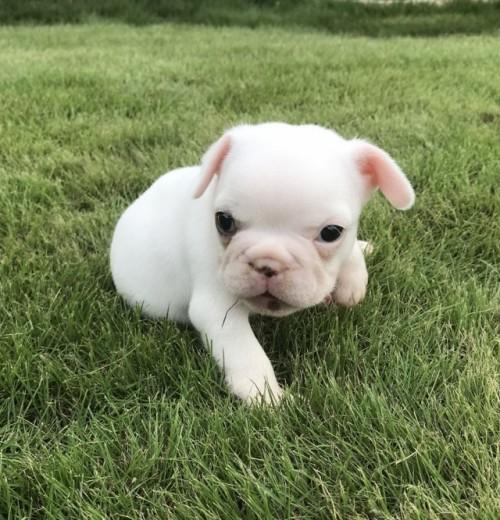 フレンチブルドッグの子犬(ID:1254911128)の2枚目の写真/更新日:2018-02-03