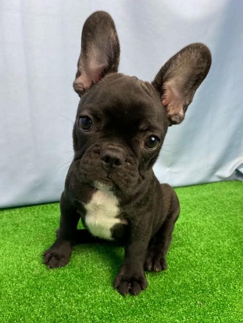 フレンチブルドッグの子犬(ID:1254911129)の1枚目の写真/更新日:2018-02-03