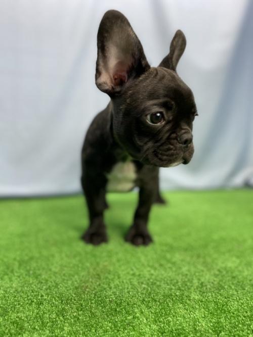 フレンチブルドッグの子犬(ID:1254911129)の2枚目の写真/更新日:2018-02-03