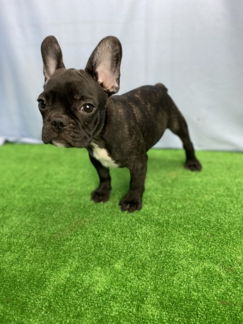 パグの子犬(ID:1254911129)の3枚目の写真/更新日:2020-09-05
