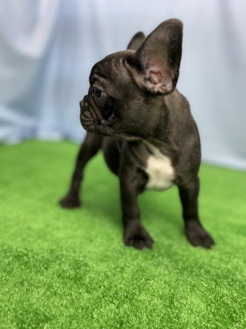 フレンチブルドッグの子犬(ID:1254911129)の4枚目の写真/更新日:2020-10-07