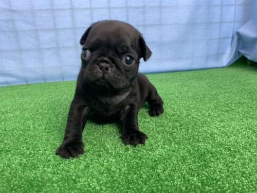 パグの子犬(ID:1254911132)の2枚目の写真/更新日:2018-02-03
