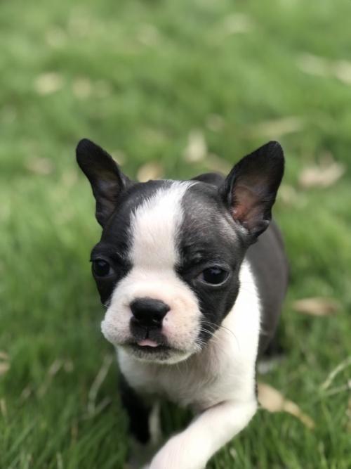 ボストンテリアの子犬(ID:1254911133)の1枚目の写真/更新日:2018-10-23