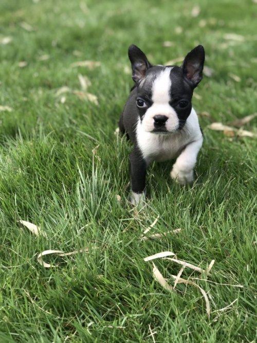 ボストンテリアの子犬(ID:1254911133)の2枚目の写真/更新日:2018-10-23