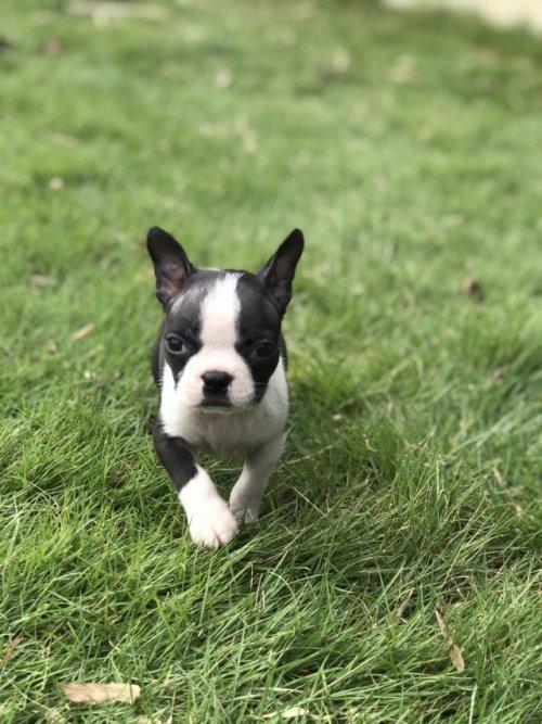 ボストンテリアの子犬(ID:1254911133)の3枚目の写真/更新日:2018-10-23