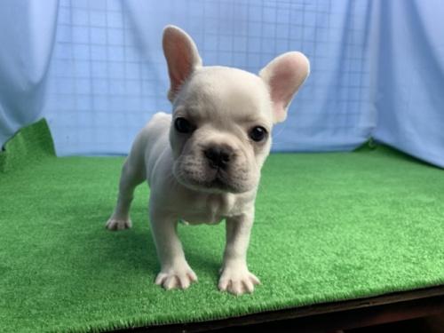 フレンチブルドッグの子犬(ID:1254911134)の1枚目の写真/更新日:2018-02-07
